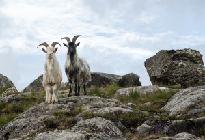 large_DSC2357_goats_2-10-23-2013_053